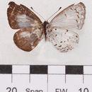 Image of <i>Oreolyce archena</i> (Corbet 1940)