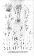 Image of <i>Barbosella gardneri</i> (Lindl.) Schltr.