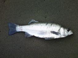 Image of Blackfin seabass