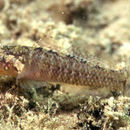 Image of Large-headed goby