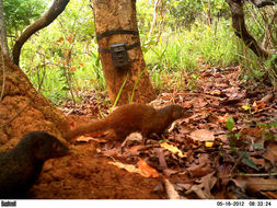 Image of Pousargues' mongoose