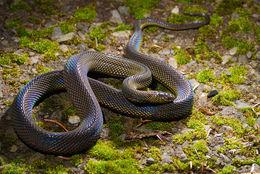 Image of Formosa Odd-scaled Snake