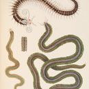 Image of Phyllodocid worms