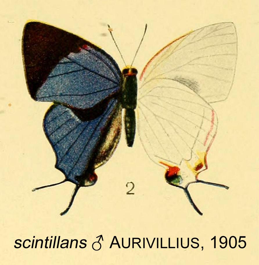 Image of <i>Iolaus scintillans</i> Aurivillius 1905
