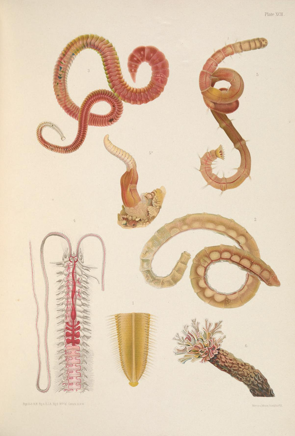 Image of gallery worm