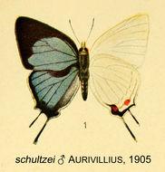 Image of <i>Iolaus schultzei</i> (Aurivillius 1905)
