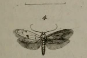 Image of Enolmis