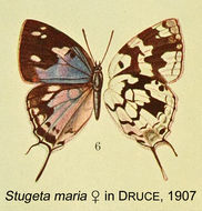 Image of <i>Stugeta bowkeri</i> Trimen 1864