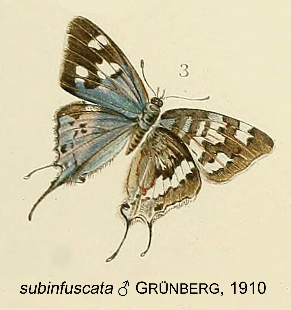 Image of <i>Stugeta subinfuscata</i> Grünberg 1910
