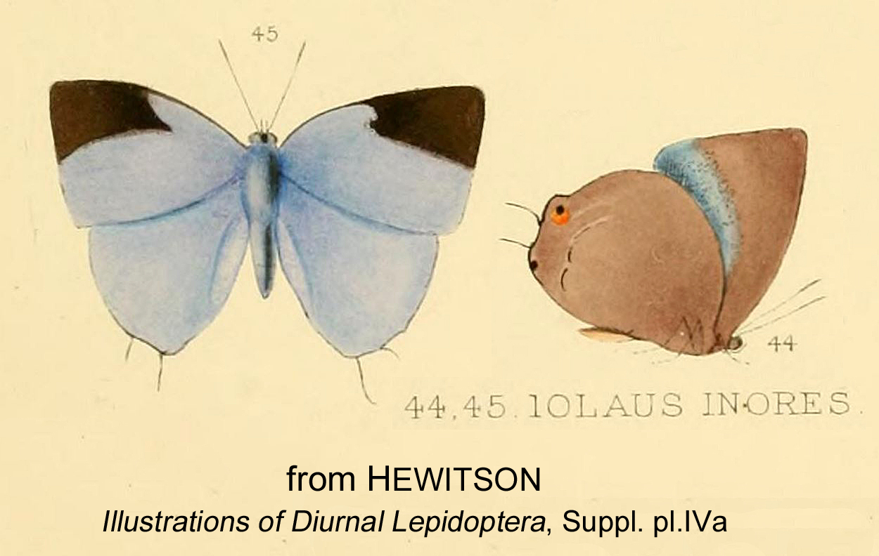 Image of <i>Sukidion inores</i> (Hewitson 1872)