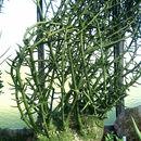 Image of <i>Adenia globosa</i> Engl.