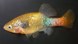 Image of redtail splitfin