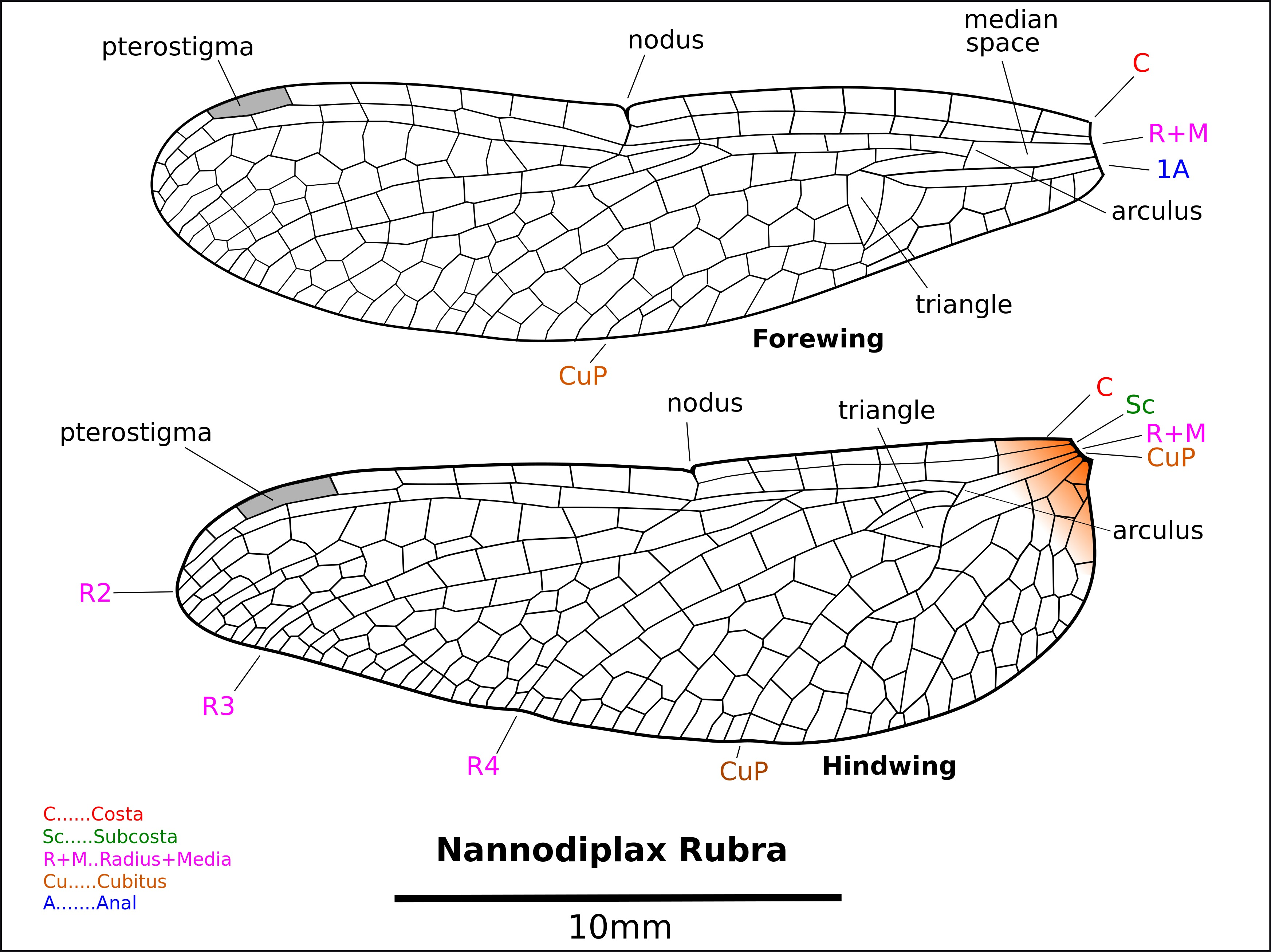 Image of <i>Nannodiplax rubra</i> Brauer 1868