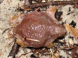 Image of Turtle Frog