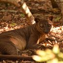 Image of Malagasy carnivores