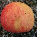 Image of <i>Schizothyrium pomi</i> (Mont. & Fr.) Arx 1959