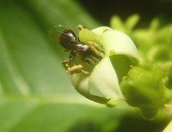 Image of <i>Vangueria cyanescens</i> Robyns
