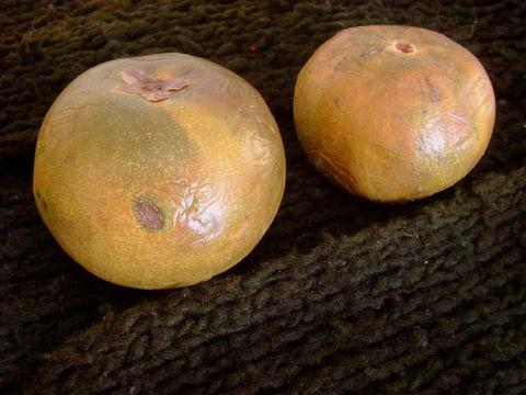 Image of Eggfruit