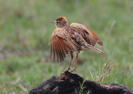 Image of Rufous-naped Lark