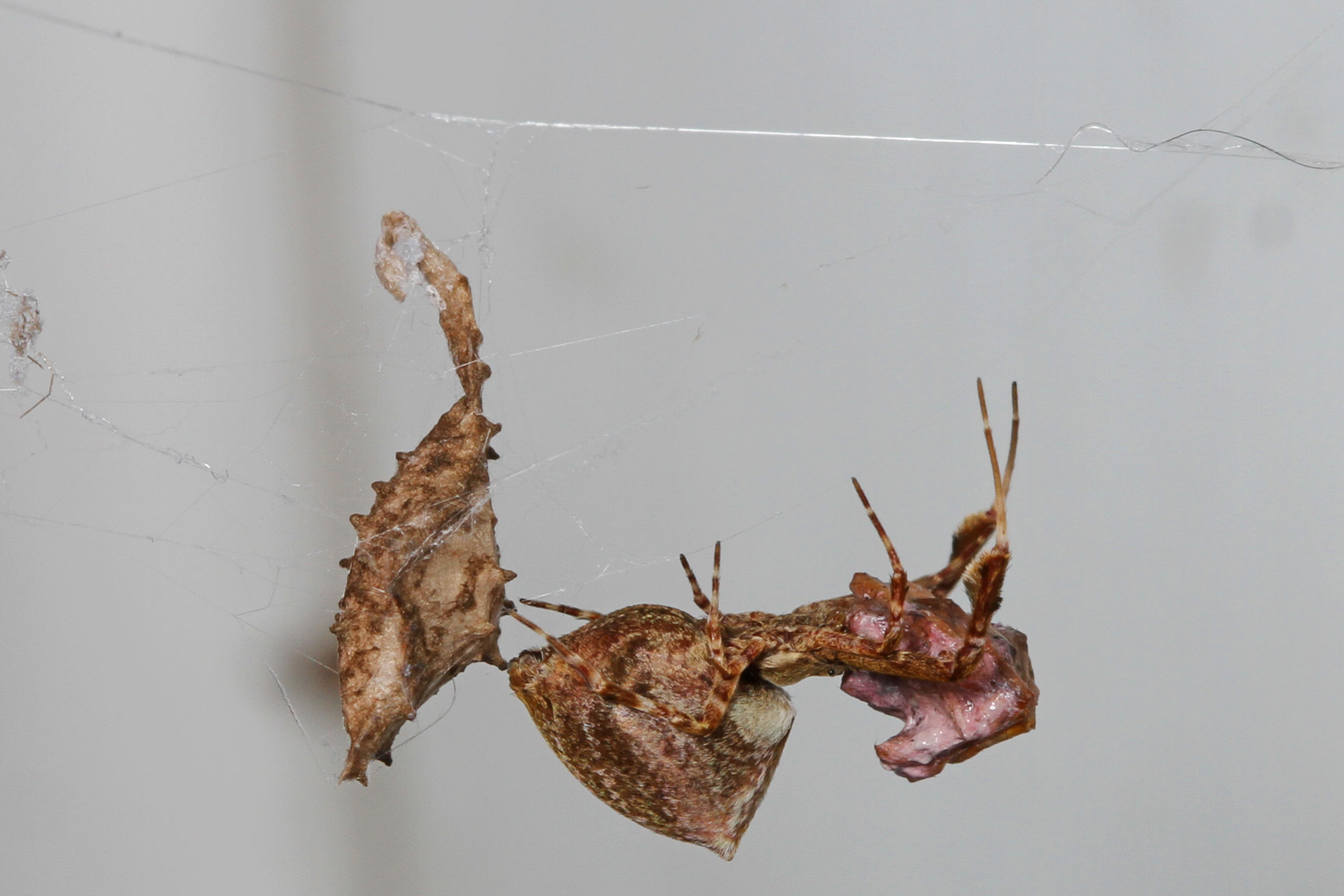Image of featherlegged orbweaver