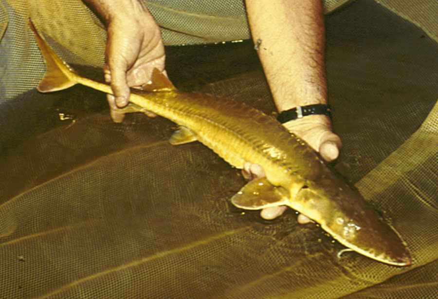 Image of Alabama Sturgeon