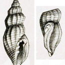 Image of <i>Anacithara nanisca</i> (Hervier 1897)