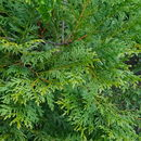 Image of Chinese Incense-cedar