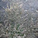 Image of <i>Limonium bellidifolium</i> (Gouan) Dumort.