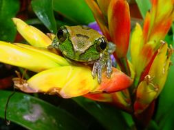 Image of Amani Forest Treefrog