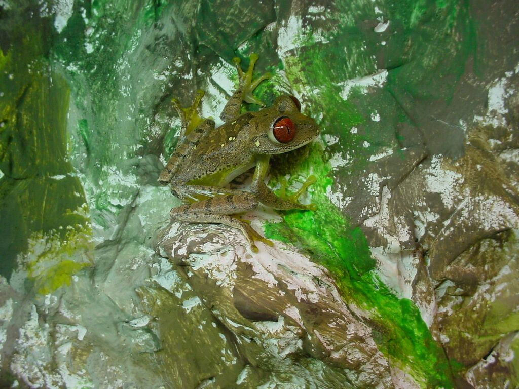 Image of Parker's Tree Frog