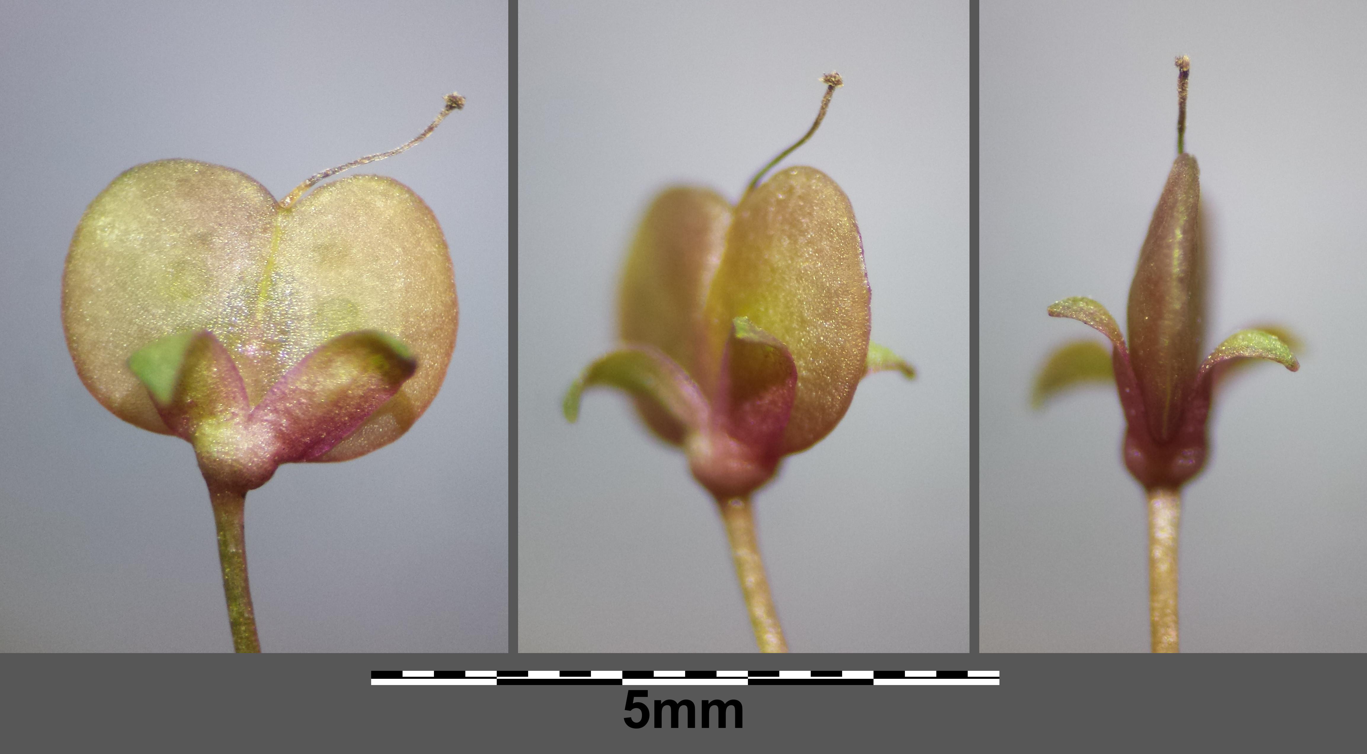 Image of <i>Veronica scutellata</i> L.