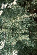 Image of Florida Nutmeg Tree