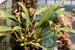 Image of <i>Chelonistele sulphurea</i> (Blume) Pfitzer