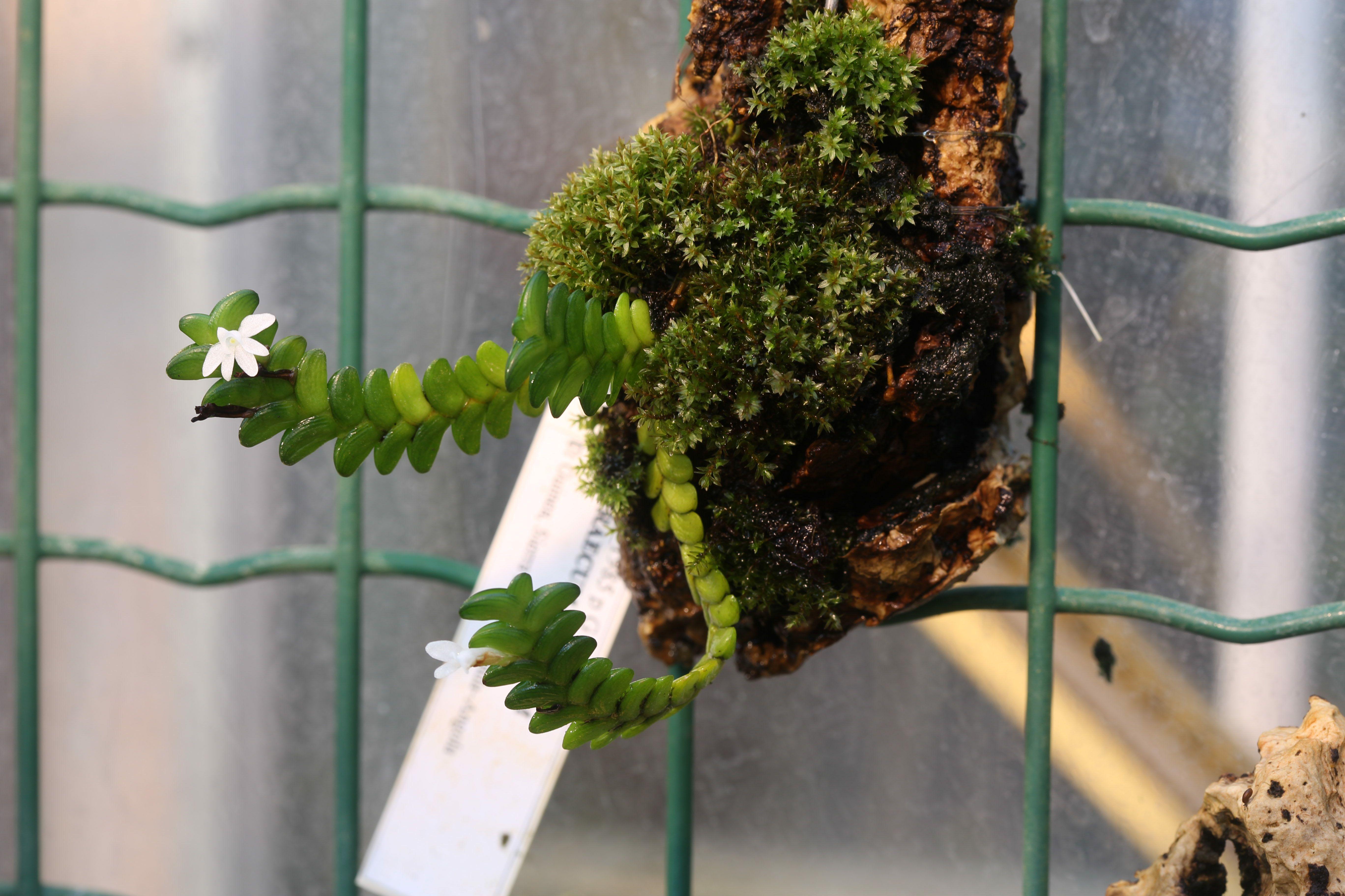 Image of <i>Angraecum distichum</i> Lindl.