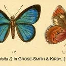 Image of <i>Iridana exquisita</i> (Grose-Smith 1898)