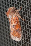 Image of <i>Acrolophus plumifrontella</i>