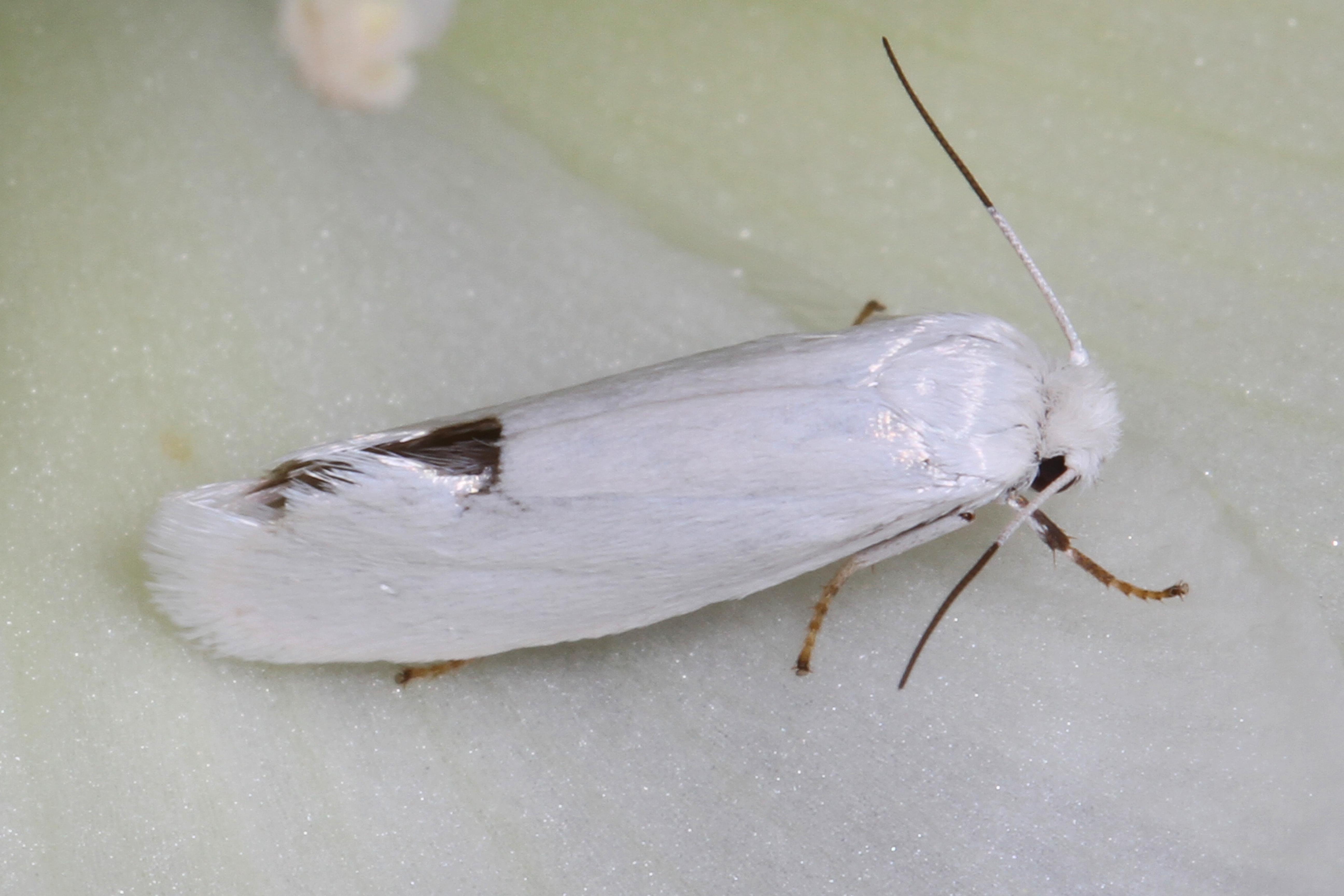 Image of Prodoxus