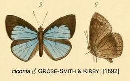 Image of <i>Stempfferia ciconia</i>