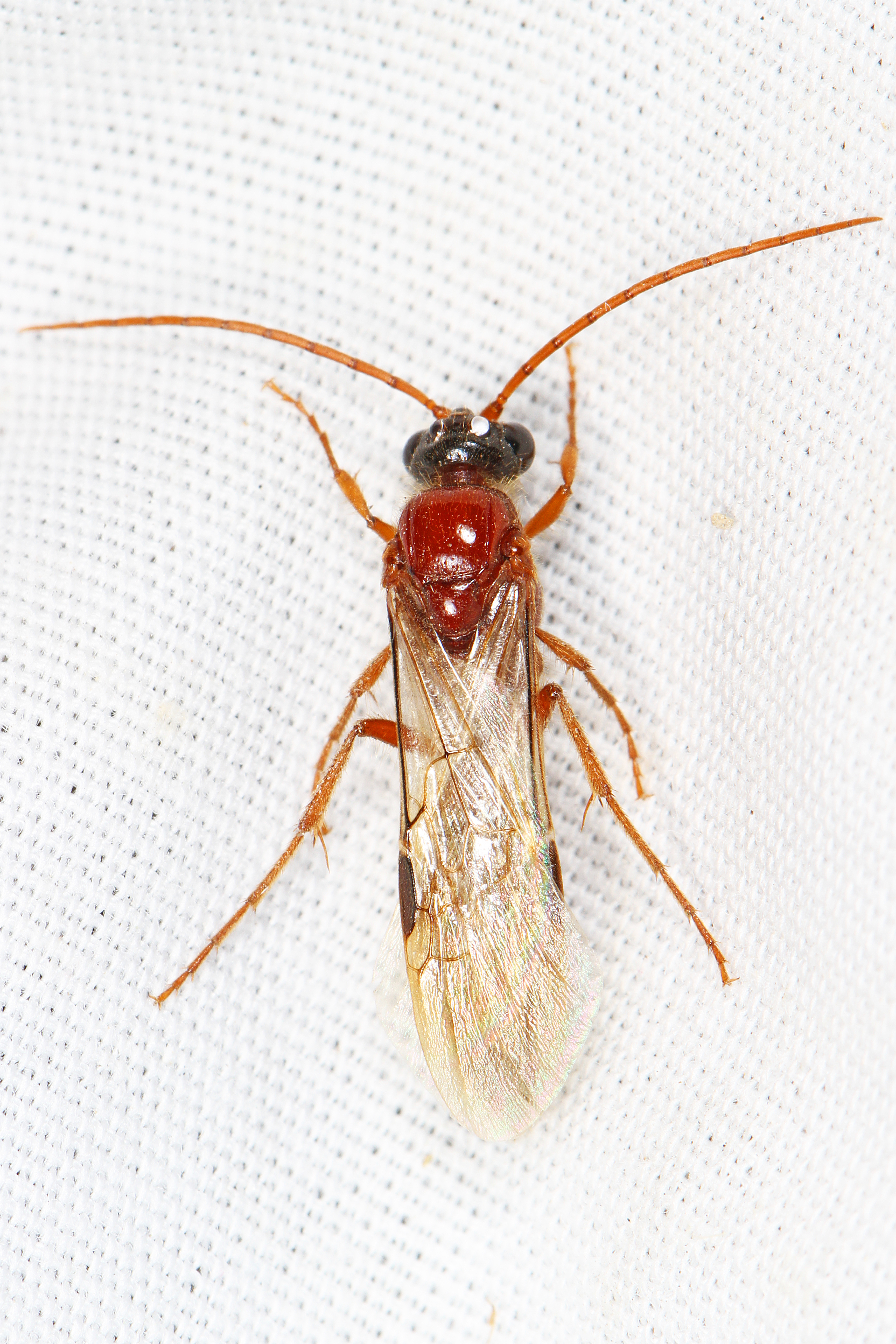 Image of Brachycistidinae