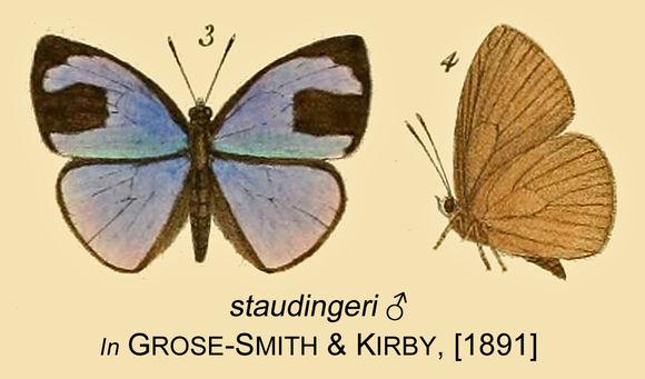 Image of <i>Epitola staudingeri</i> Kirby 1890