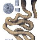 Image of Giant Gippsland Earthworm
