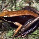 Image of <i>Mantidactylus melanopleura</i> (Mocquard 1901)