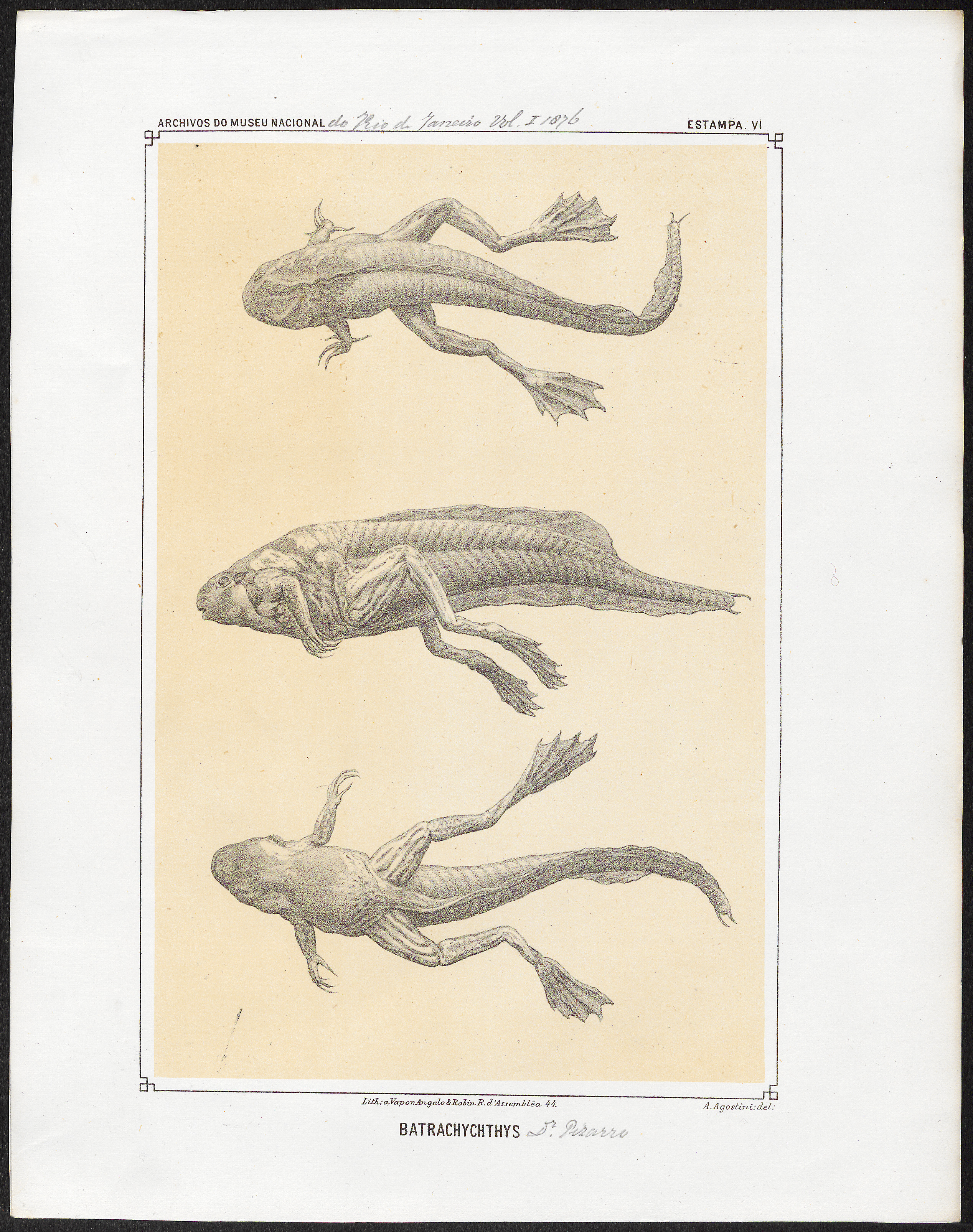 Image of Swimming Frogs