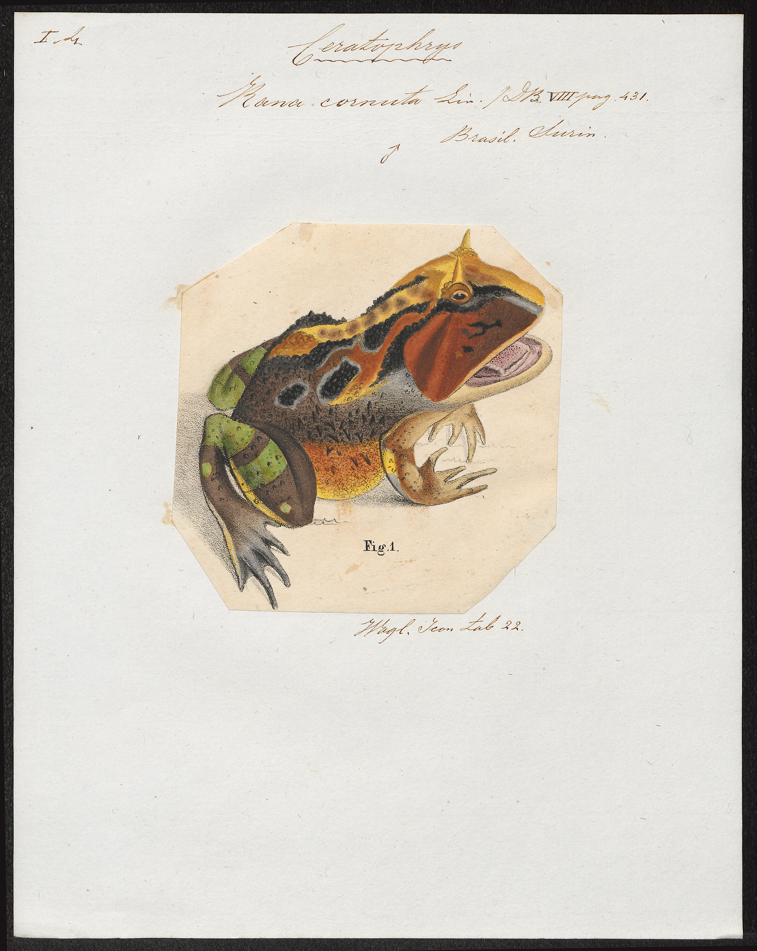 Image of Common horned frog