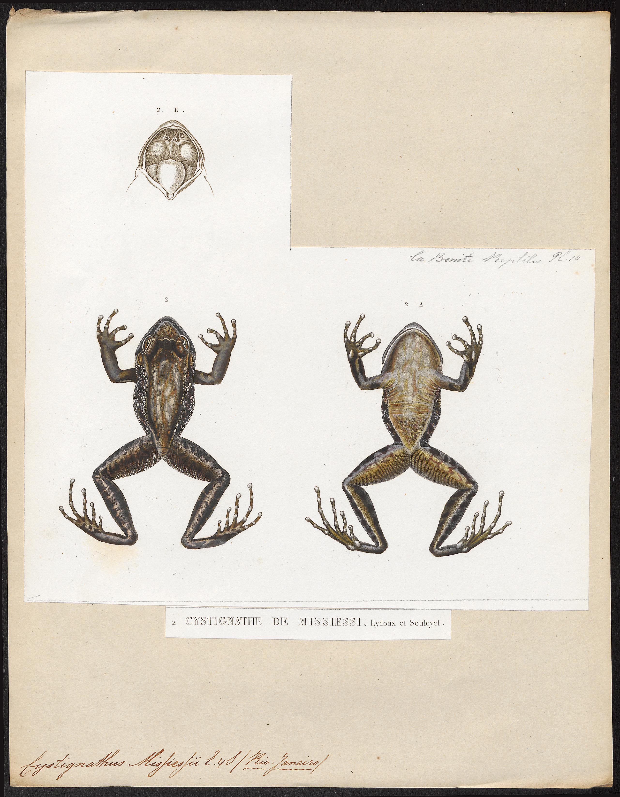 Image of <i>Thoropa miliaris</i> (Spix 1824)