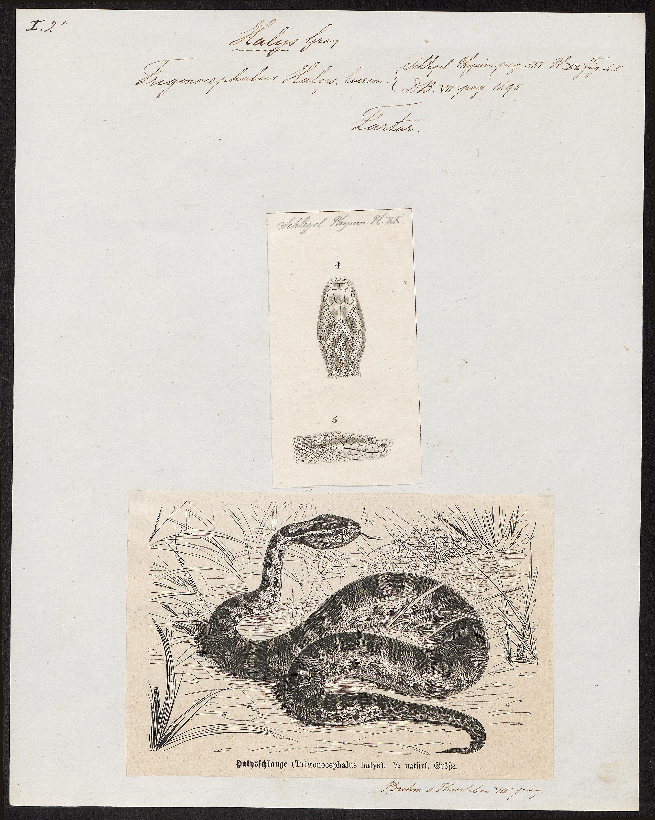 Image of <i>Gloydius halys</i> (Pallas 1776)