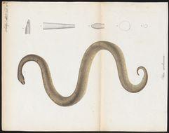 Image of Cuban wood snake