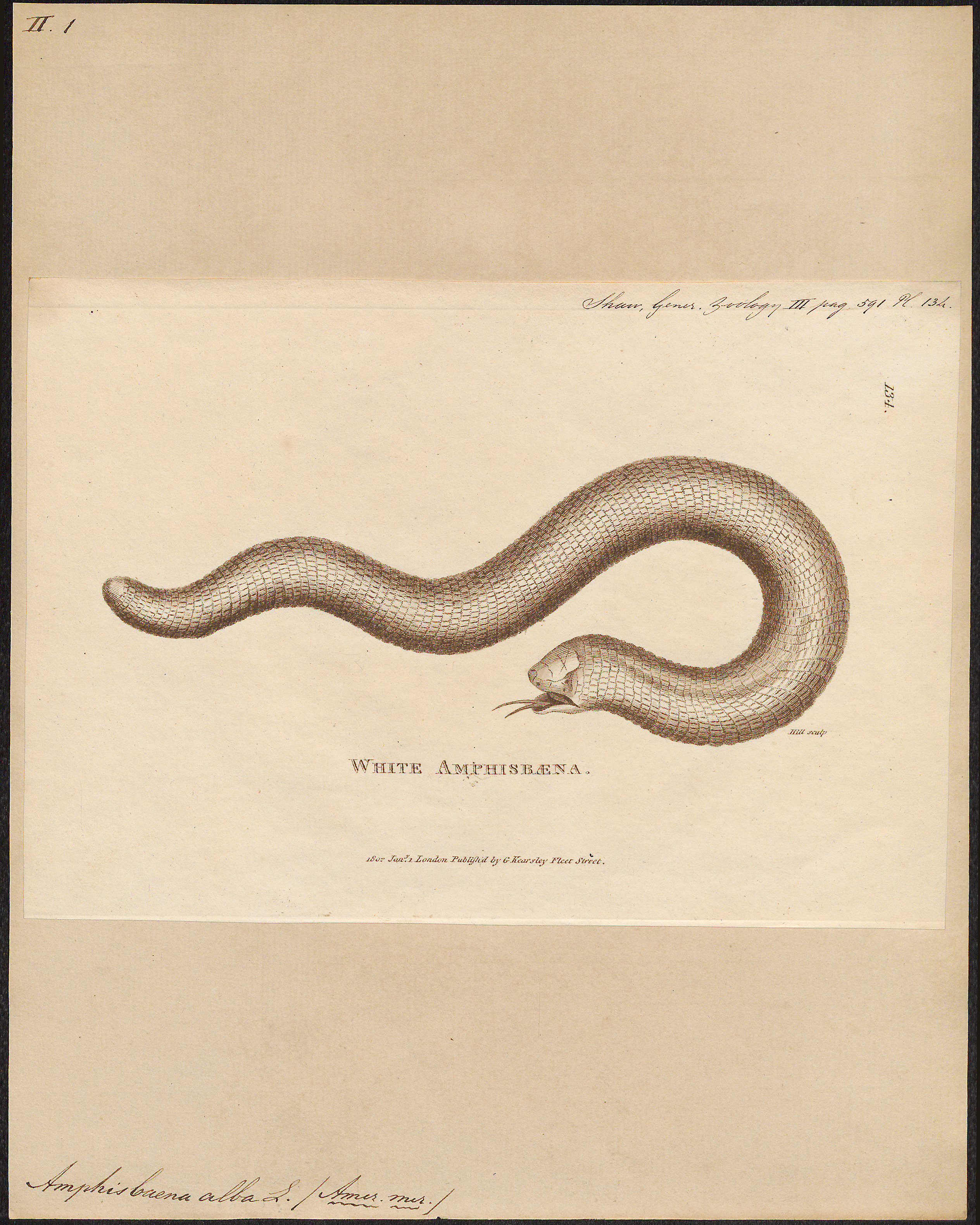 Image of Red Worm Lizard