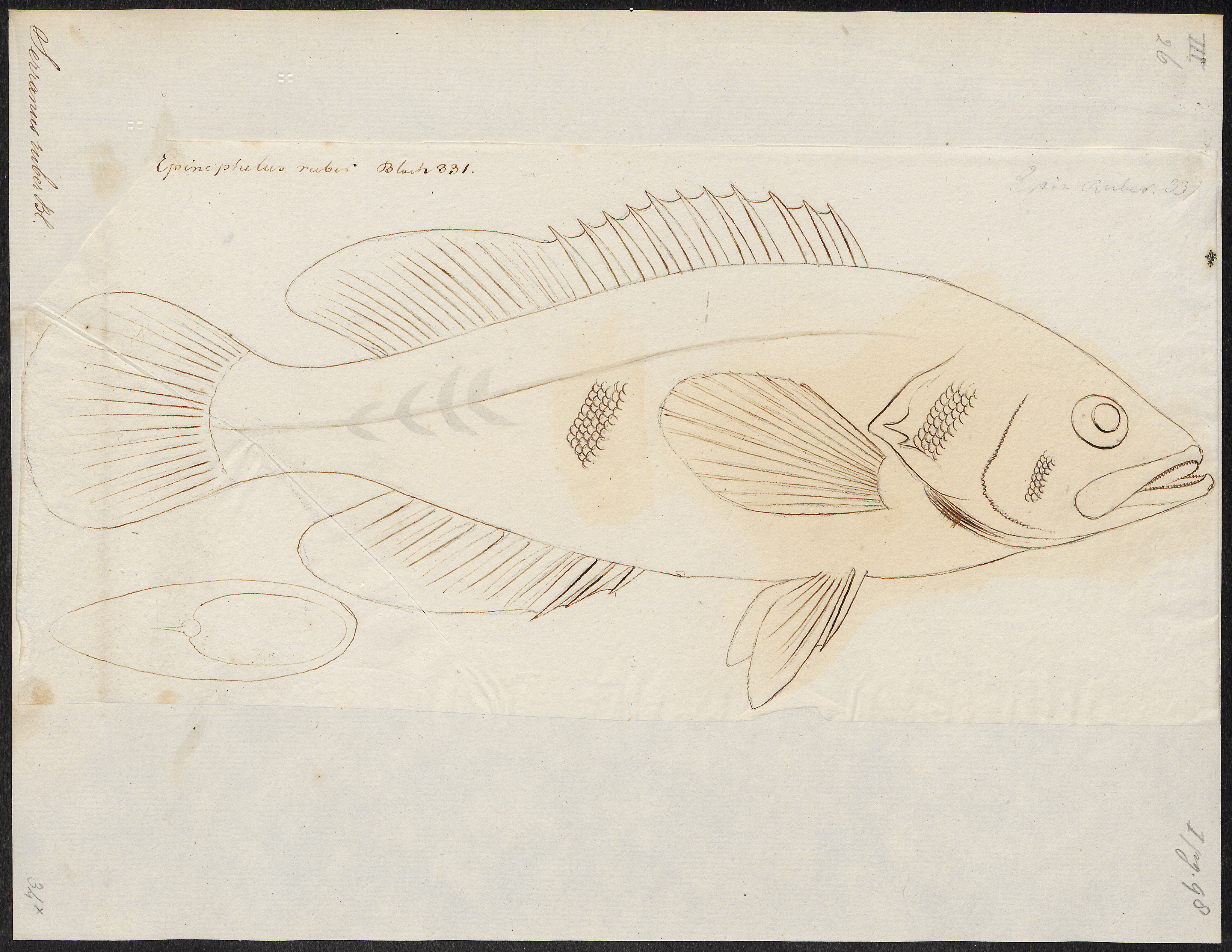 Image of Comb Grouper