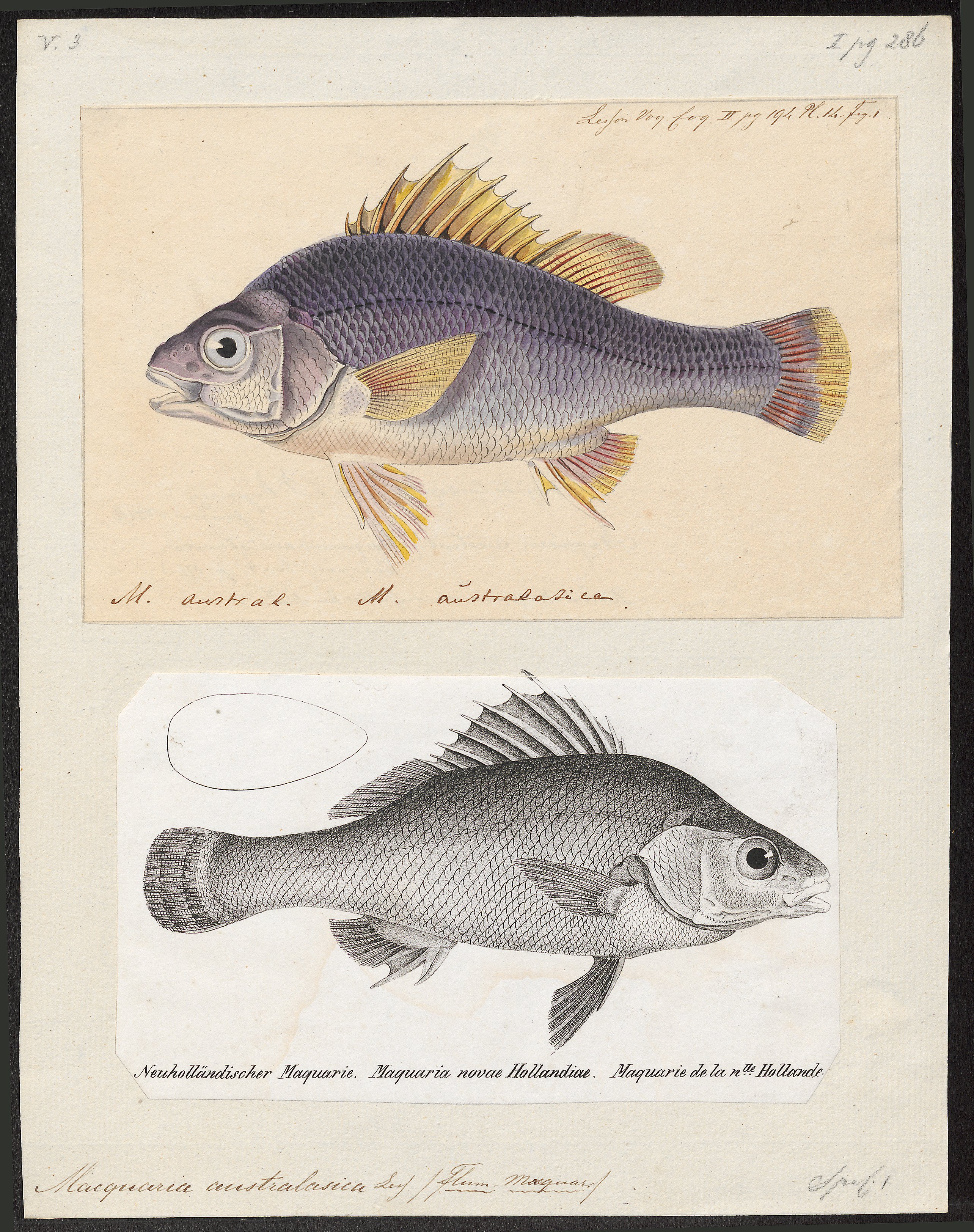 Image of Macquarie Perch